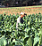 romeo y julieta cigar field image