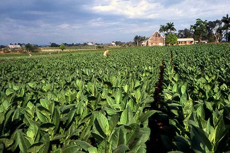 ashton maduro cigar fields image